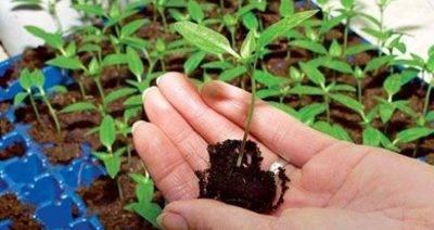 Когда сеять садовую землянику на рассаду в 2020г по лунному календарю