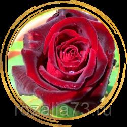 Выращивание черной чайно-гибридной розы блэк баккара