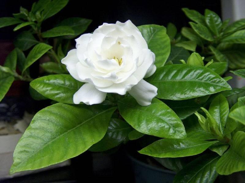 Гардения домашняя: уход после покупки, секреты выращивания и размножения для начинающих цветоводов, виды и сорта   (50+ фото & видео)