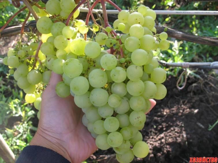 Виноград галбена ноу (золотинка): описание сорта и его фото, характеристики, особенности, борьба с вредителями
