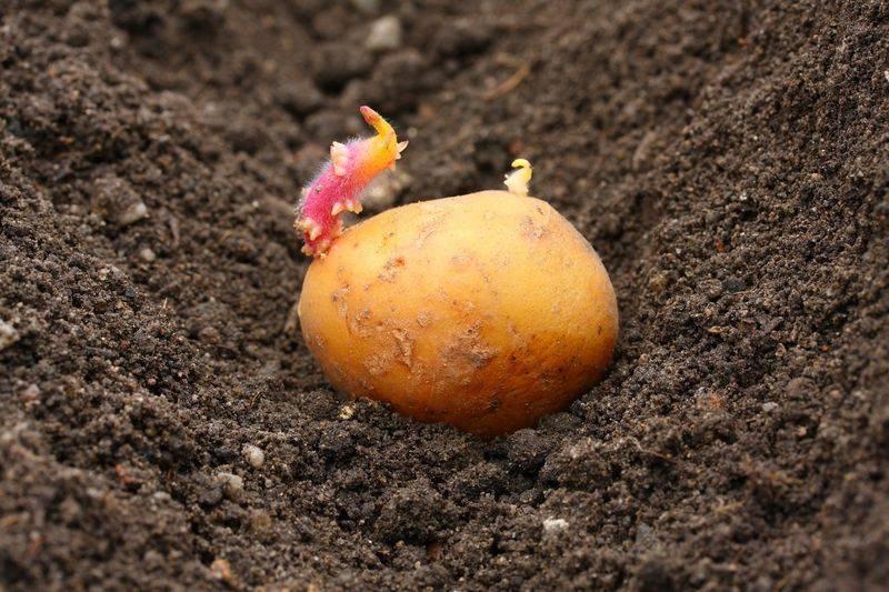 Основные секреты посадки бульбы (картошки)