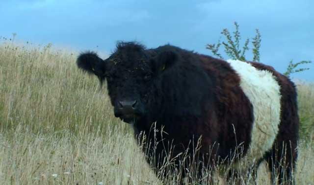 Молочные породы коров - описание, фото и видео | россельхоз.рф