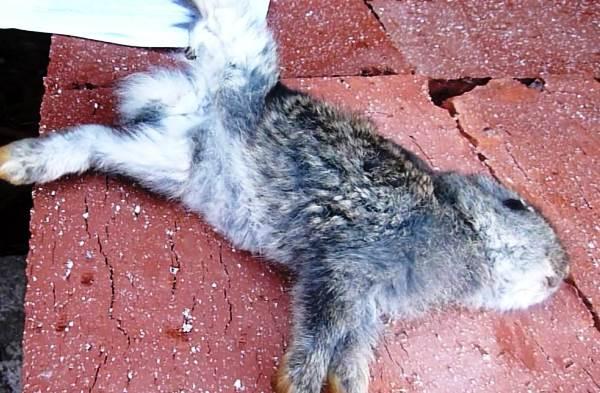 Кокцидиоз у кроликов: симптомы, лечение, профилактика