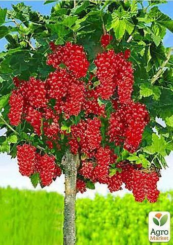 Красная смородина ровада