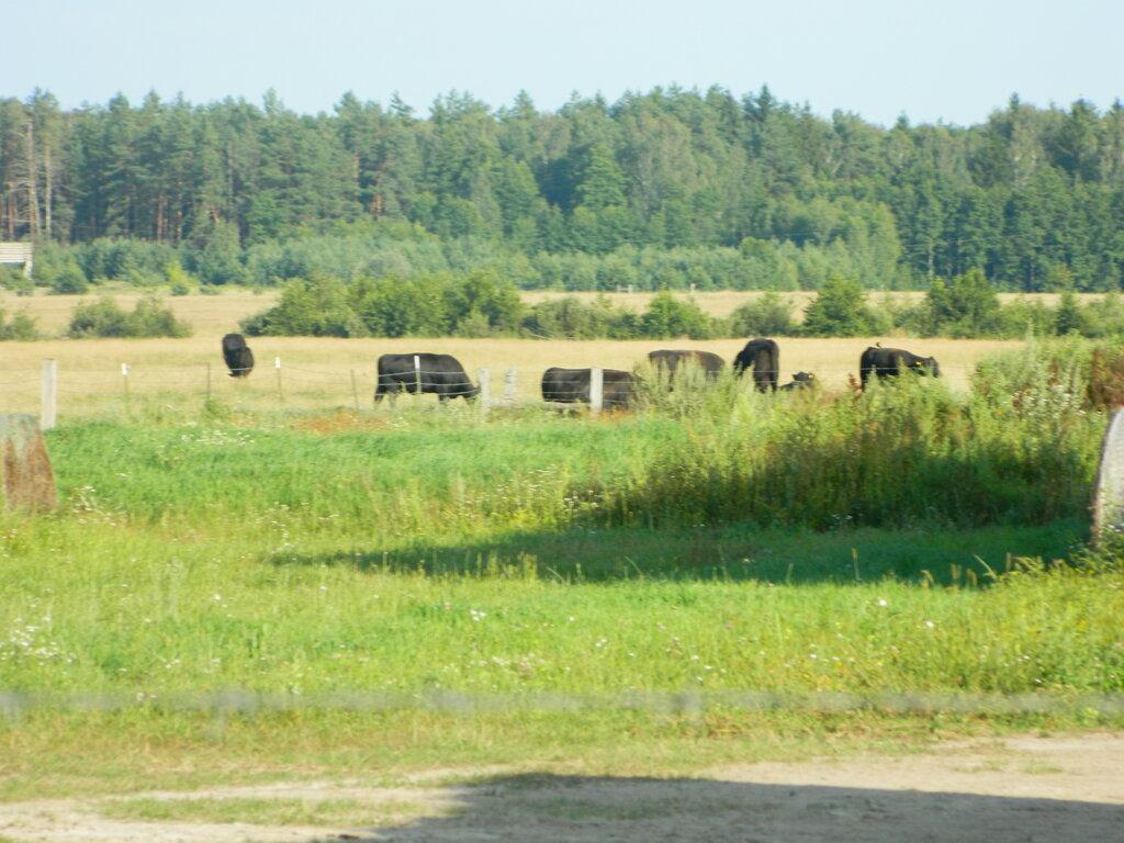 Крупный рогатый скот: описание, уход и заболевания