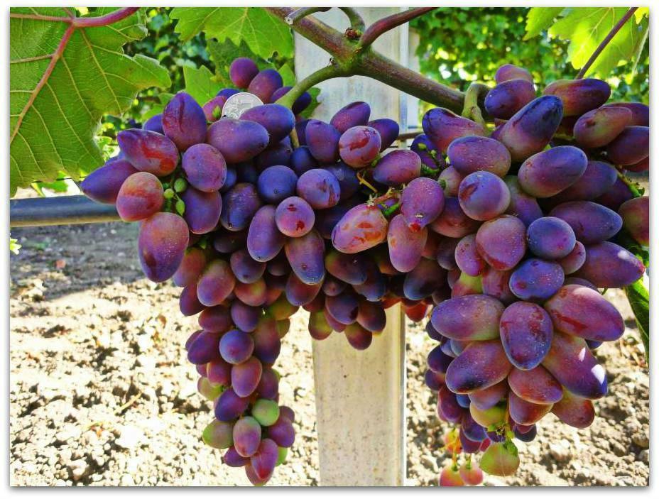 Описание винограда сорта красотка, технология посадки и ухода