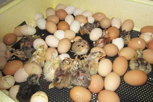 Как вылупляются цыплята: все подробности процесса