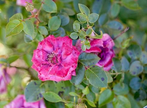 У розы желтеют листья что делать