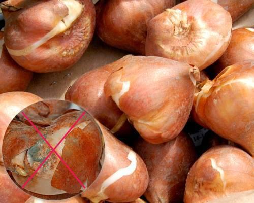О хранении луковиц тюльпанов в домашних условиях после выкопки, когда сажать