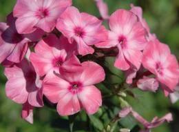 Флокс друммонда - выращивание из семян, когда сажать на рассаду, полезные советы по уходу
