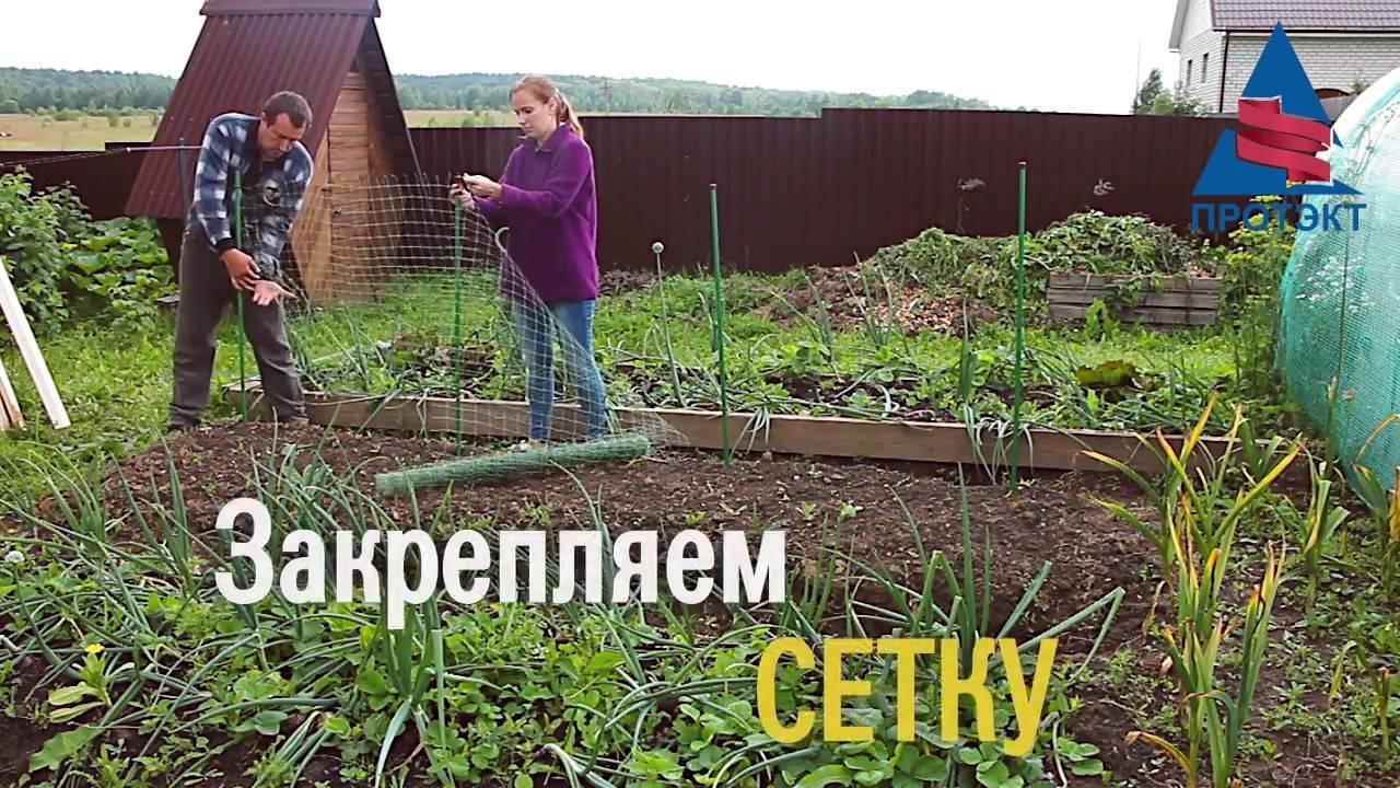 Горох в открытом грунте: фото, видео, посадка, уход и сбор урожая