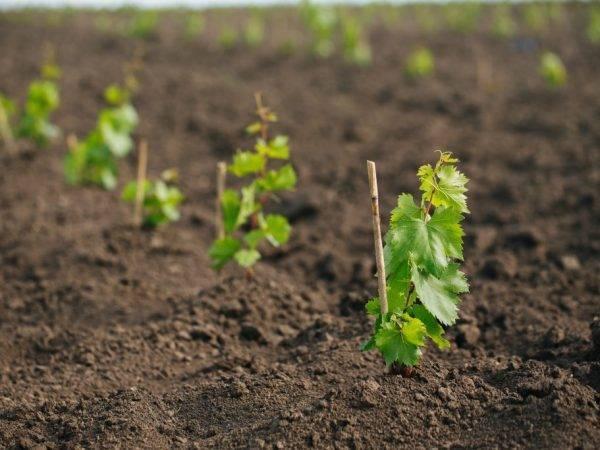 Как пересадить виноград на другое место осенью. пересадка винограда летом