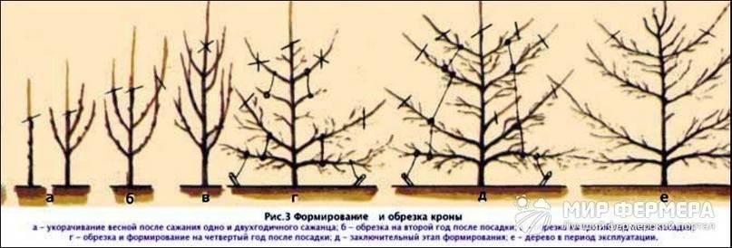 Обрезка груши весной. формирование кроны