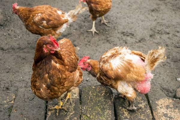 Куры выщипывают перья: причины и решения