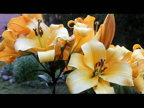 Размножение лилии чешуйками