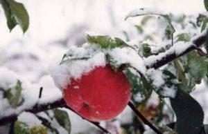 Секреты яблоневого сада в сибири. уход - сад