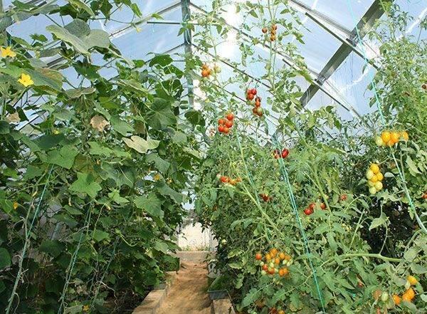 С чем сажать огурцы в одной теплице: совместимость, соседство и дружба растений