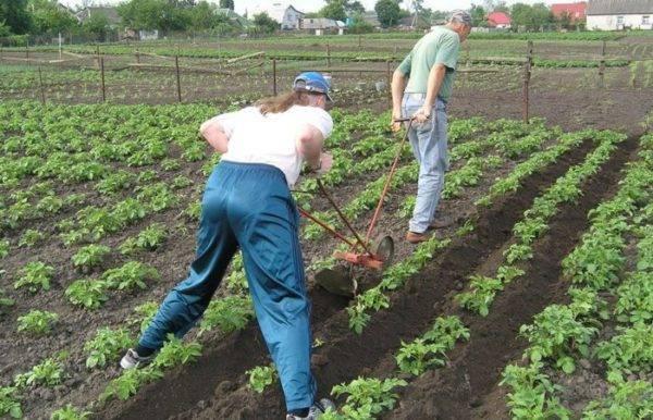 Веерное окучивание картофеля залог хорошего урожая