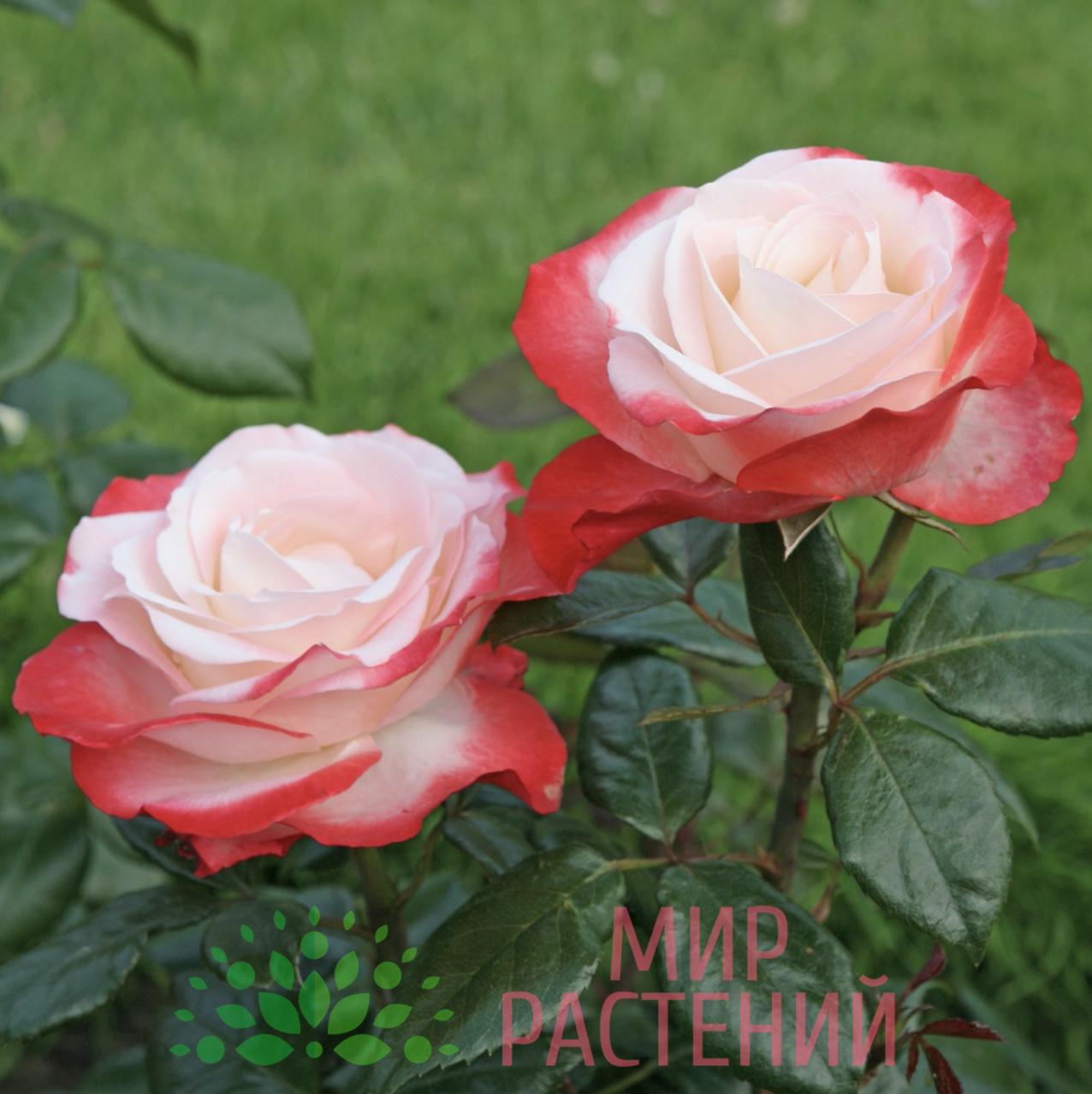 Роза «ностальжи»: характеристика и сортовые отличия