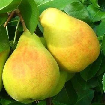 Описание, выращивания и уход за грушей сорта чижовская