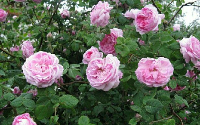 Чайная роза: посадка, уход, сорта и размножение