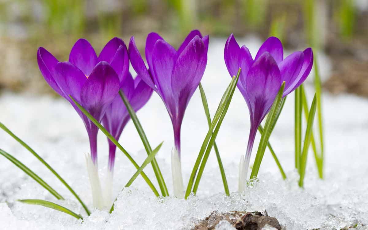 Пересадка и хранение луковиц — когда выкапывать крокусы после цветения