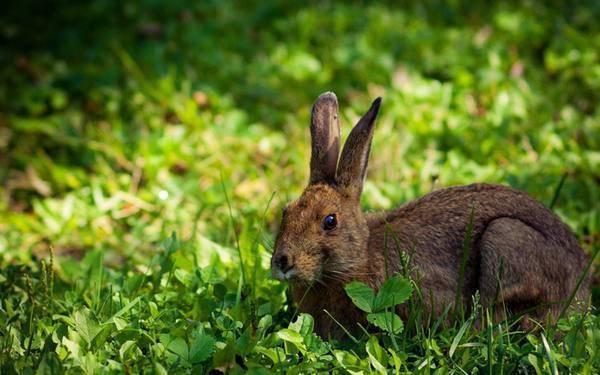 Можно ли кормить кроликов грецкими орехами и в каких количествах