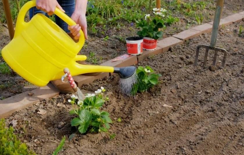 Правильно ли вы поливаете клубнику под агроволокном? давайте проверим