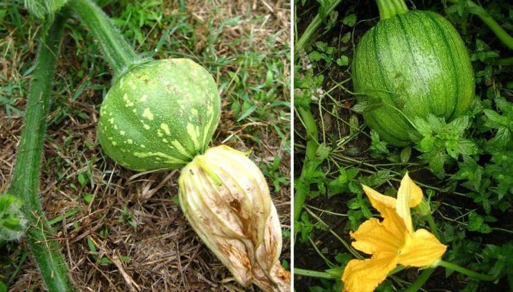 Как вырастить большую тыкву - выбор семян, места, почвы. уход и формирование куста.