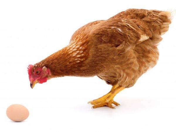 Уход за курами в курятнике: как отучить птицу клевать свои яйца