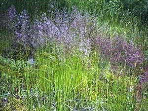 Описание, преимущества и недостатки газона из полевицы