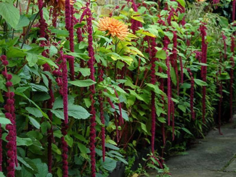 Амарант трехцветный, посадка и уход иллюминации в саду