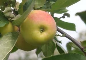 Правильная посадка яблонь на урале в осенний период