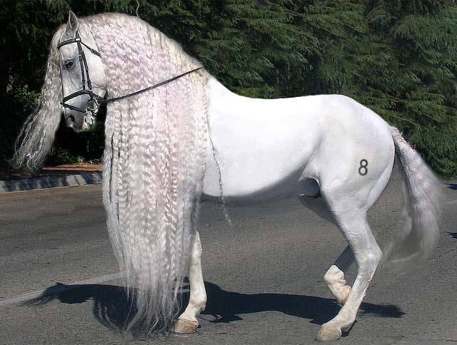 Андалузская лошадь - испанская легенда - представляем породу - конный мир