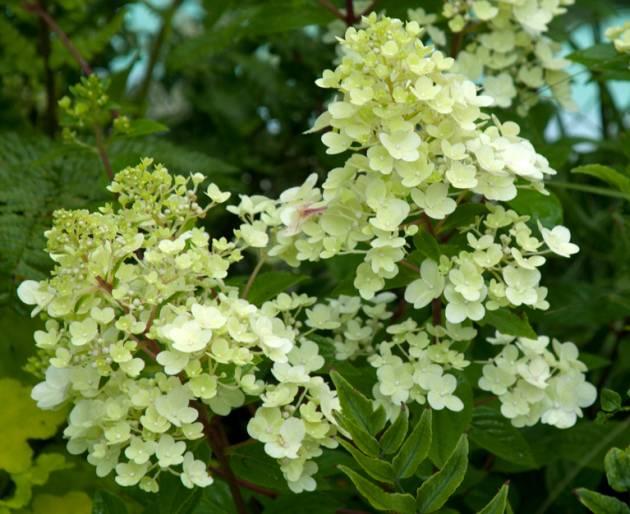 Гортензия метельчатая: посадка, уход, размножение, фото | сажаем сад