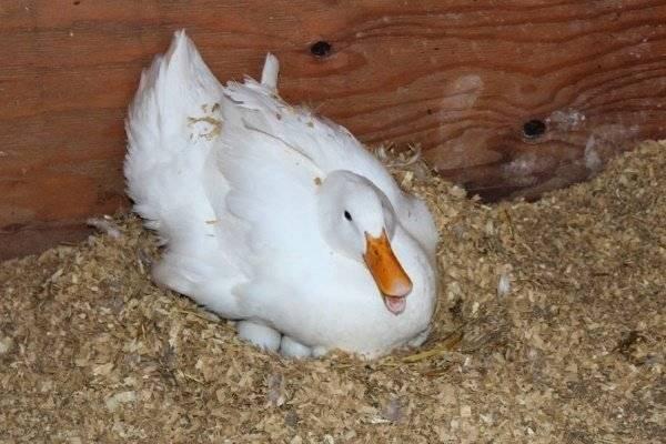 Сколько гусыня высиживает яйца и как ее высадить на гнездо