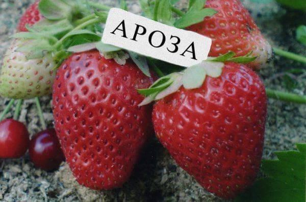 О сорте клубники Ароза: описание, агротехника выращивания, как ухаживать