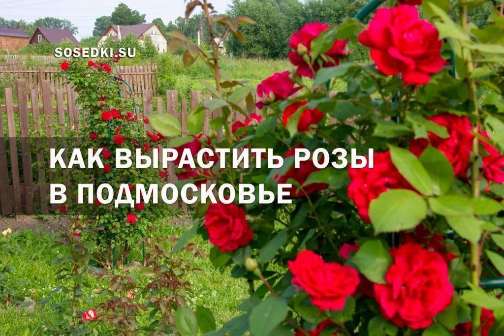 Подкормка роз - советы цветоводам