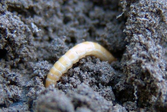 Как избавиться от проволочника на картофельном участке?