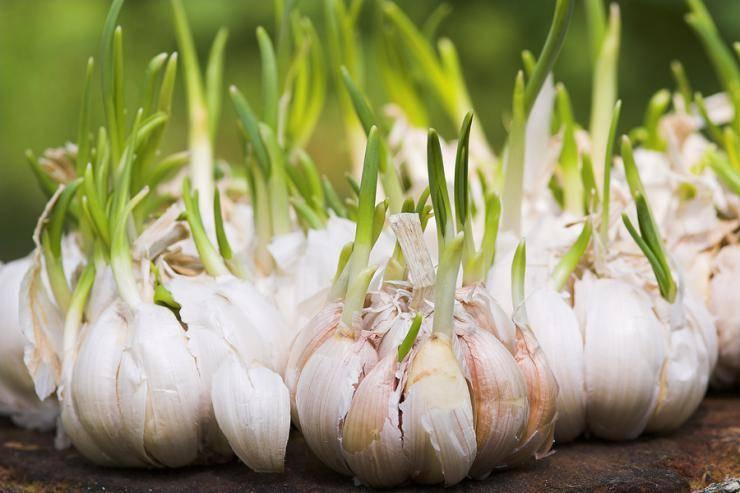 Выращивание чеснока в сибири