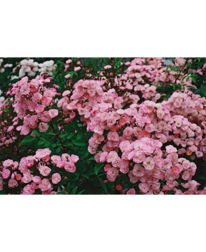 О розе пинк флойд (pink floyd): описание и характеристики сорта, выращивание