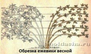 Правила выращивания и ухода за ежевикой