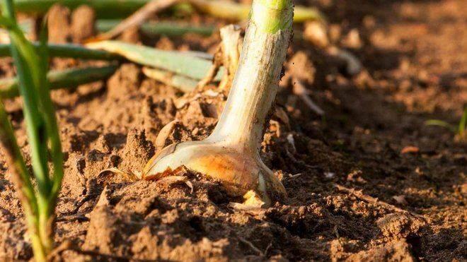 Как подготовить почву для чеснока