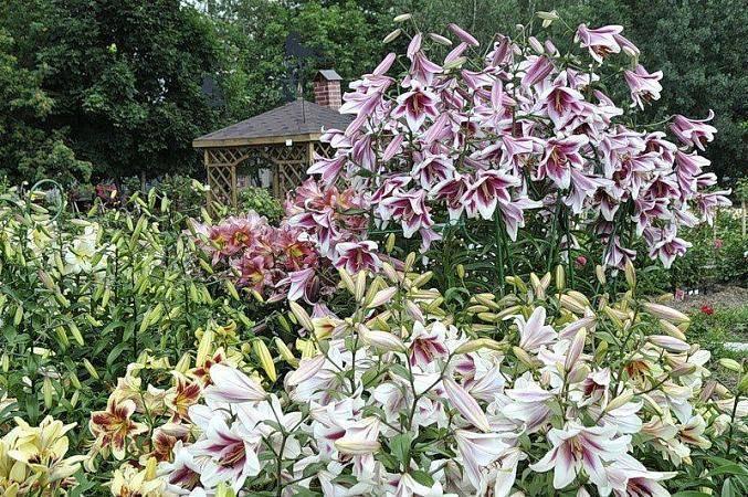 Лилия: виды, сорта, посадка и уход