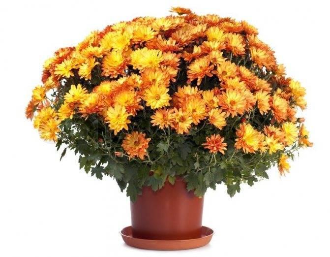 Хризантема комнатная - уход в домашних условиях, размножение и пересадка