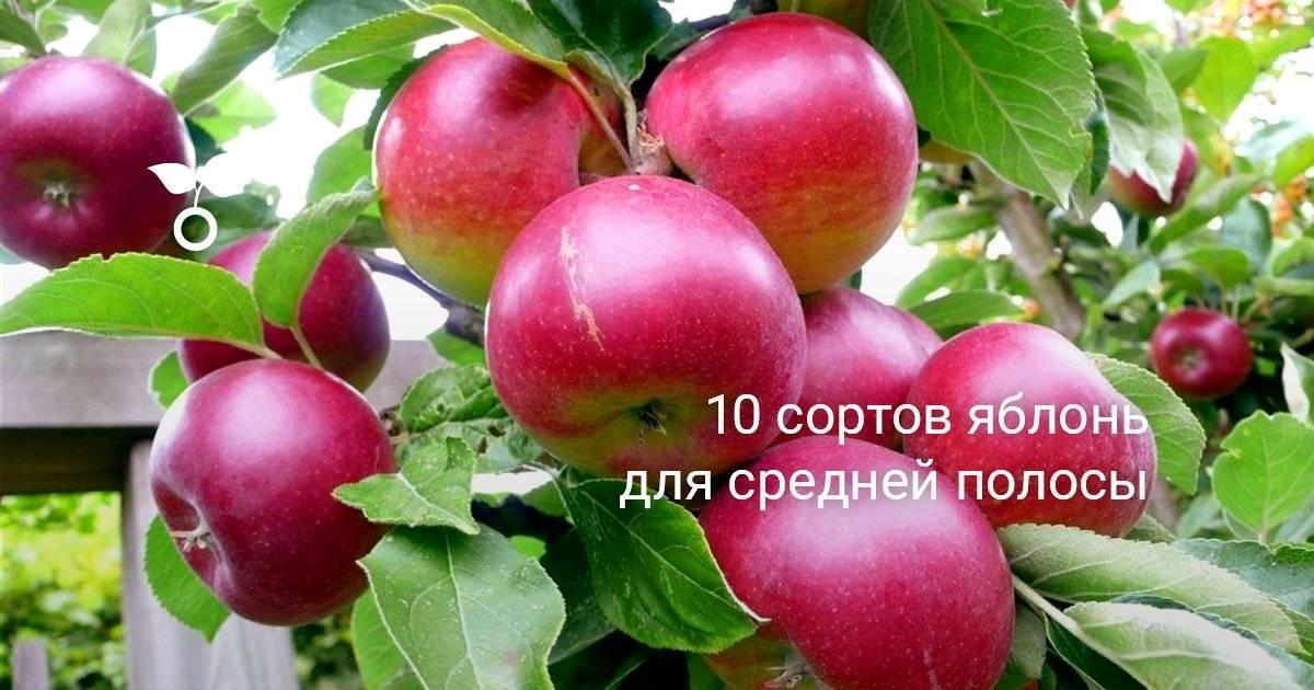 Зимние сорта яблок: фото с названием, описание лучших сладких, ранних, крупных, зеленых и красных, яблони наслаждение и плесецкого