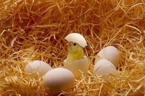 Как вылупляются цыплята и надо ли им помогать?