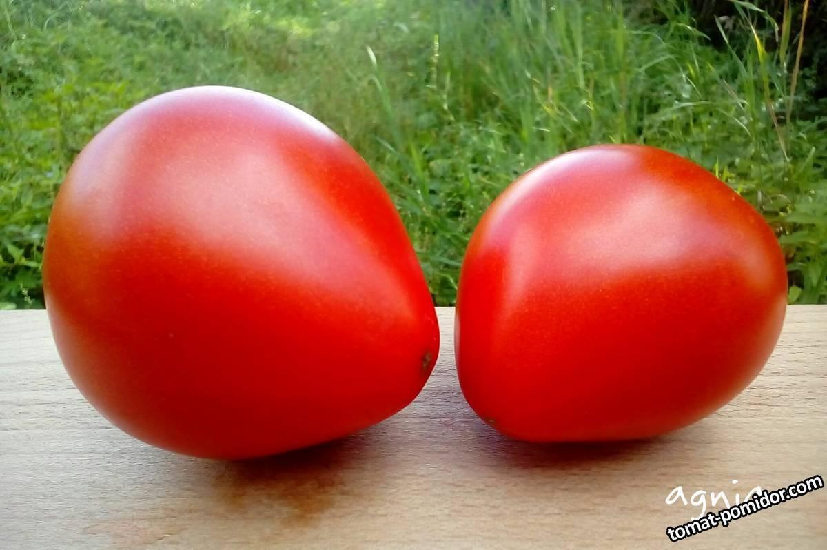 томат данко отзывы фото урожайность