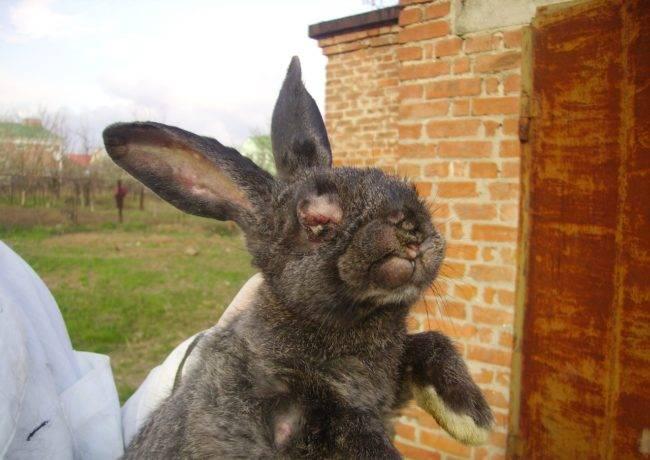 Что делать, если у кролика закисают и гноятся глаза