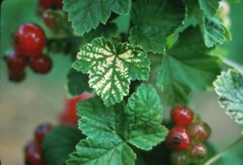 Болезни красной смородины — ягоды грибы